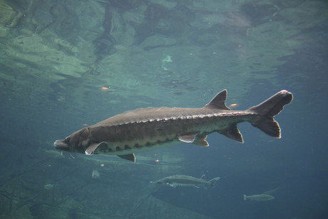 A sturgeon