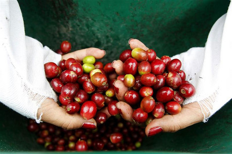 Heavy rainfall in Colombia has driven up coffee prices (file, Reuters)