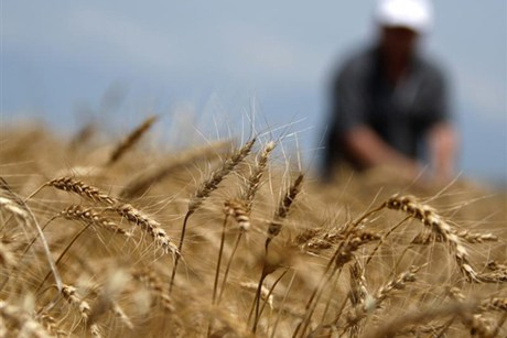 GE wheat crops are being trialled in Western Australia