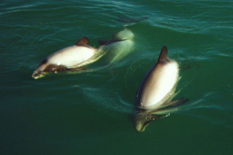 Conservations want more protection for Hector's dolphins (file)