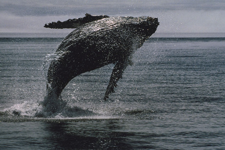 A humpback whale (file pic)