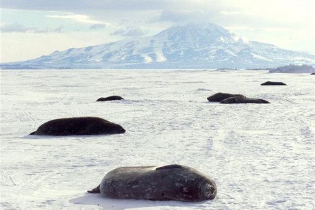 Weddell seals rest on the ice of McMurdo Sound in front of New Zealand's Scott Base (Reuters)