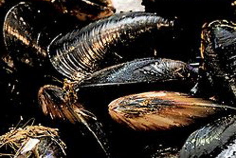 Sanford and Sealord hope to continue processing mussels later this year  (file)