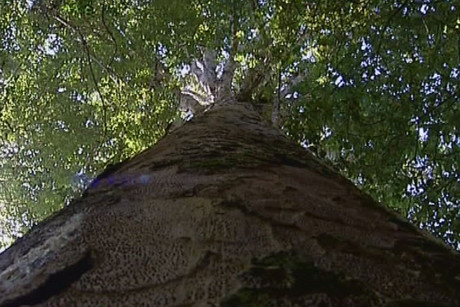Kauri dieback disease has already wiped out 11 percent of kauri in the Waitakere Ranges