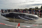 Those wanting a glimpse of the whale have until this afternoon to get to the beach before it is cut up and buried nearby (photo: Kendall Forbes/MoreFM)