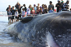 Hundreds gathered to get a glimpse of the whale yesterday (photo: Mike Gamble/3 News)