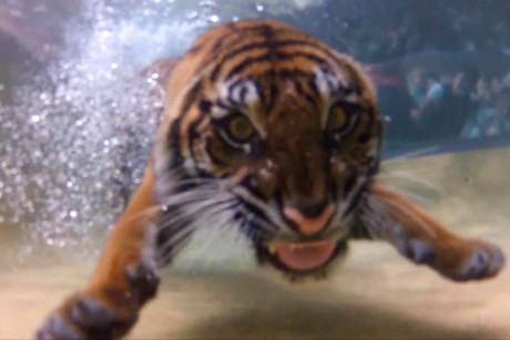 The tigers were recorded with underwater cameras