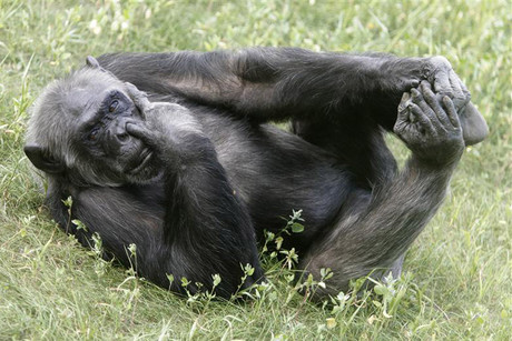 A chimpanzee (File)