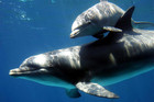 Bottlenose dolphins (Reuters file)