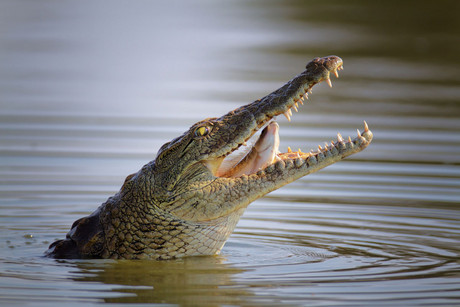 Thousands of crocodiles escaped a breeding farm along a river on the South Africa-Botswana border (file)