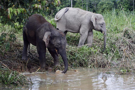 Pygmy elephants in Borneo (file: Reuters)