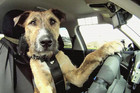 Porter, one of the SPCA's rescued dogs, seen here at the wheel of a car