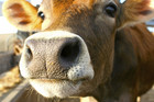 SAFE says cows are at risk (file)