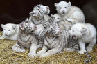 Four white tiger cubs and four white lion cubs at a safari-park in Hodenhagen, Lower-Saxony, Germany (Reuters)