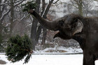An elephant plays with a former Christmas tree in the zoo in Berlin (Reuters)
