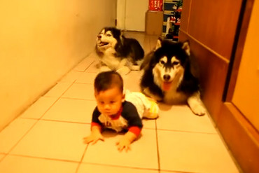 In the video, the baby boy crawls on tiles down a hallway while the dogs wriggle along behind him