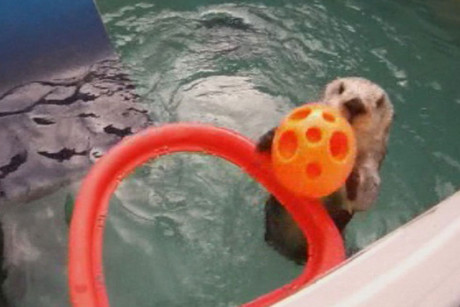 Eddie the basketball-playing otter