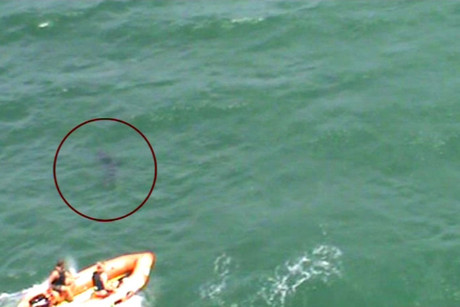 A supplied picture showing the shark in the water next to a surf lifesaving inflatable vessel