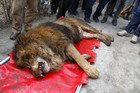 A sedated lion is seen on a private property in Bucharest (Reuters)
