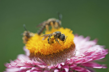 Honeybees have been estimated to contribute $5 billion to New Zealand's economy through their pollination work