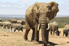 Trade in ivory has skyrocketed in recent years