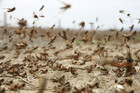 A swarm of locusts (file pic)