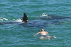 If a baby orca is in the pack, swimming with them is illegal