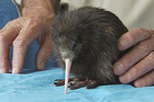 Despite the best efforts of Robert, and the volunteers at the centre, the kiwi couldn't be saved