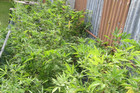 One of the cannabis plots discovered in Rotorua (Photo: NZ Police)
