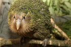 There are fears for native species such as the Kakapo, due to job cuts at DOC (file)