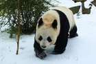 Female giant panda Tian Tian (Sweetie) at Edinburgh Zoo (Reuters file)