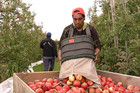 Most of the workers at Carl Fairey's orchard are Samoan