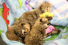 The cheetah cubs pictured in intensive care (Thomas Mead/3 News)