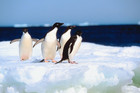 Cape Bird is home to 160,000 Adélie penguins