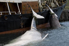 Sea Shepherd Australia says the Japanese fleet only managed to catch 103 whales in 2012-13 (Reuters file)