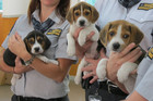 Beagles have been very successful detector dogs in New Zealand airports, mail centres, cruise ships and wharfs (Photo: Charlotte Whiteacre).