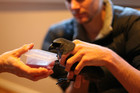 David Bryden from Auckland Council holds Duncan the Kokako as he feeds on jam and water this morning (Photo: Department of Conservation)