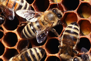 Bees gather mainly at the pots containing a sugar solution mixed with TNT