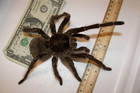 A Goliath bird-eating tarantula (Photo: Snakecollector/Wikipedia)