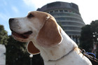 One of the many beagles poses in front of the Beehive (photo: Simon Wong/3 News)