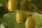 Kiwifruit exporter Zespri was involved in a scam (file)