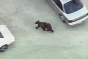 The bear ran past houses and cars