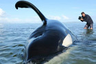 The orca is known as 'Koru' for his unique dorsal (Robert M. Lehmann - Orca Research Trust)