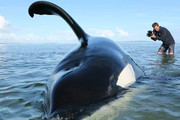 VIDEO: Stranded orca rescued from sandbank