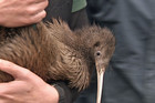 The kiwi are from a sanctuary on Motuora Island in the Coromandel