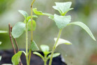 Stevia sweetener is an extract of the stevia leaf (Reuters)