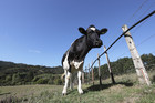 The trial regarding the ill-treatment of the cows is expected to last four weeks.