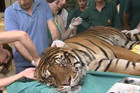 The tiger is given acupuncture treatment