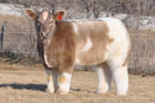 Texas Tornado, the fluffy cow (Lautner Farms)