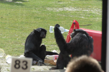 The siamang gibbons went on the run for an hour and a half (Photo: Alana Priest/iWitness)